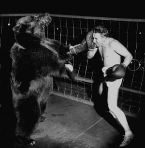 Boxer Gus Waldorf boxing against a bear in 1949.