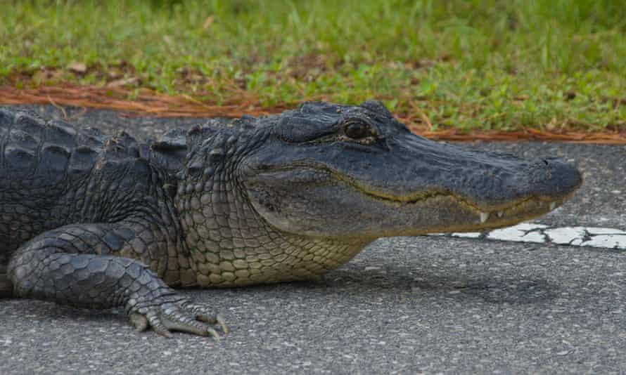 Alligator rests on warm pavement in the evening, at St. Marks National Wildlife Refuge, Florida