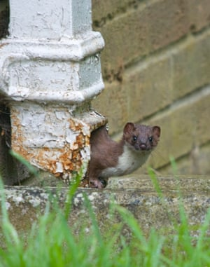 2014 Mammal Photographer of the Year Competition 3rd Place : Stoat by Adrian Hinchliffe