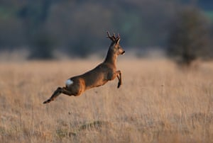 2014 Mammal Photographer of the Year Competition  Highly Commended: Roe Deer by Grant Auton