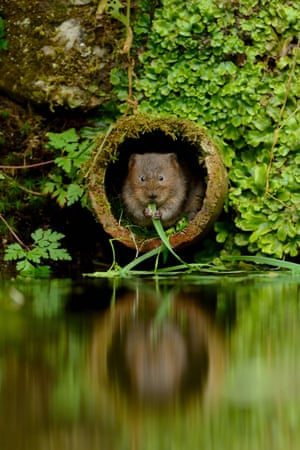 2014 Mammal Photographer of the Year Competition  Highly Commended: Water Vole by Ben Andrew