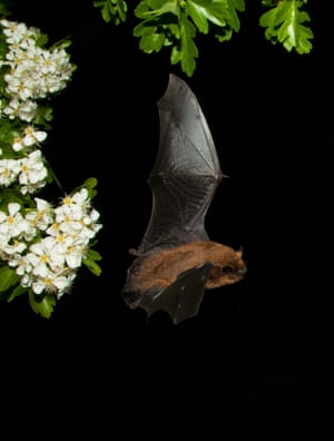 2014 Mammal Photographer of the Year Competition  Shortlist: Pipistrelle bat flying by hawthorn bloom by Maurice Flynn