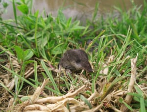 2014 Mammal Photographer of the Year Competition shortlist: Water Shrew by Ryan Greaves