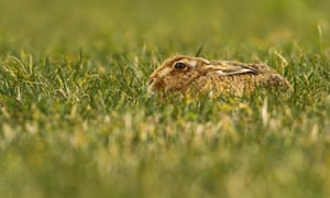 2014 Mammal Photographer of the Year Competition under 18 Highly Commended: Norfolk Hare Josie Hewitt.