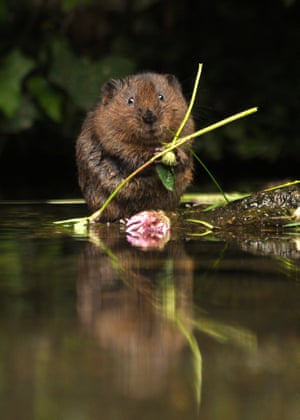 2014 Mammal Photographer of the Year Competition under 18 Highly Commended: Water Vole by Samuel Baylis.