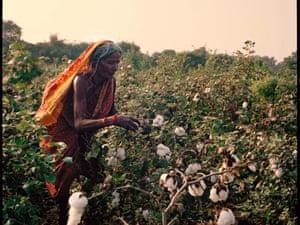 An elderly woman picking cotton in a field in Yavatmal, India