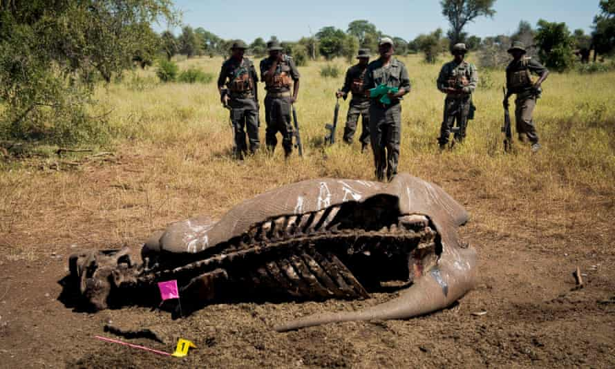 The carcass of a rhino in the Kruger National Park,South Africa, one of 606 killed there by poachers in 2013.