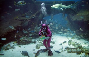 A diver dressed as the Easter Bunny swims among sharks, rays and other fish at the South East Asia Aquarium in Singapore.