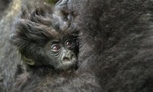 Coiffure Mountain Gorilla in the Virunga Volcanoes National Park, Rwanda.