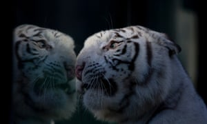 Cleo a white Bengal tiger looks through the glass of her enclosure at the Buenos Aires Zoo, Argentina,.