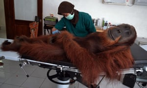 A veterinary staff examines a 14-year-old male orangutan found with air gun metal pellets embedded in his body in Sibolangit district in northern Sumatra island. The orangutan was rescued by Indonesia's ministry of forestry personnel. The center has cared for over 280 orangutans rescued from palm oil plantations, poachers and pet owners and over 200 have been reintroduced in the wilds.