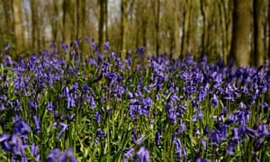 Bluebells in bloom in Micheldever Wood, Hampshire. Native bluebells are flowering earlier this year