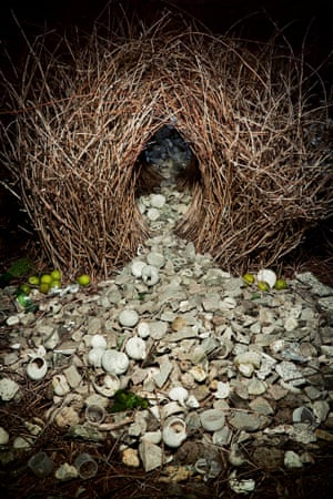 ANIMAL ARCHITECTURE, book out April 2014 Great Bowerbird (Chlamydera nuchalis) bower, Northern Territory, Australia
