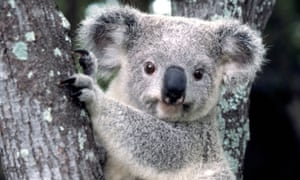 The environmental offset scheme allows irreplaceable vegetation to be destroyed in some areas that critics say could leave koala habitats vulnerable.