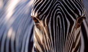 Why does the zebra have stripes?