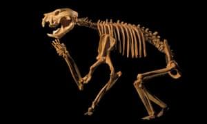A cast of a Thylacoleo carnifex skeleton, an extinct giant marsupial, Adelaide, Australia.