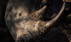 A rhino in Kruger park, South Africa. Nearly 40 seized horns were stolen in a theft