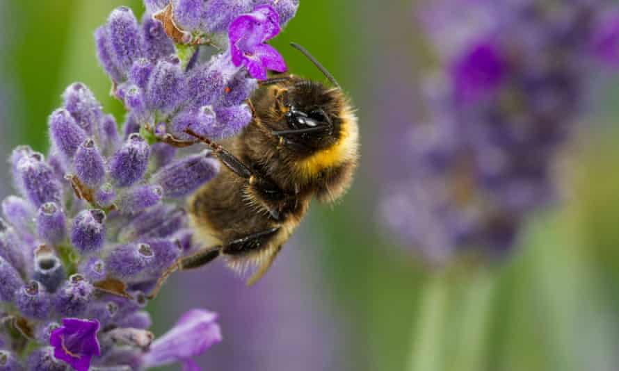 Male Buff-tailed Bumblebee (Bombus terrestris) on Lavender in a garden