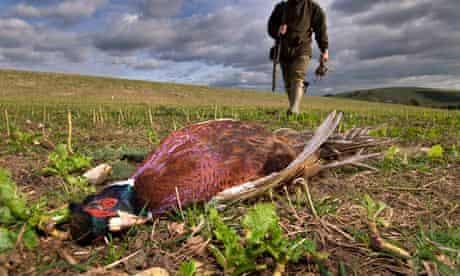 Pheasant shooting in West Sussex