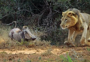Dr Trix Jonker took an incredible set of photographs capturing the moment an unsuspecting warthog fatally crossed the path of a hungry lion.