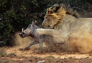 The lion reaches out with its paw to stop the warthog running away.