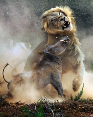The warthog makes a valiant but futile attempt to escape the lion.