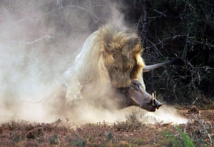 The lion fatally wounds the warthog.
