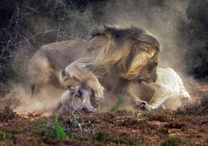The male lion sees off another lion interested in free food.