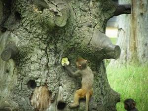 PInk Lady: Cheeky monkey