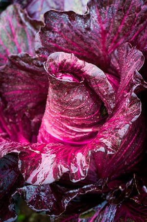 PInk Lady: cabbage