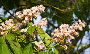 Horse Chestnut Tree Blossom