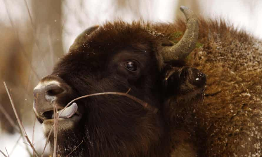 Captive-bred European bison are being sent to Romania for release into the wild