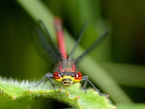 Large Red Damselfly by Andy Pritchard