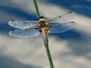 Four Spotted Chaser by Robert Felton