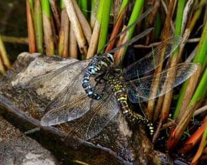 Mating & Laying