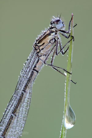 Azure Damselfly - Coenagrion puella (female) by Heath McDonald