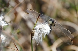 White-faced Dragonfly, Cumbria by Tim Melling