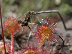 Sundew with White Legged Damselfly by  Dave Roberts