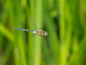 Migrant(?) Hawker on the wing by Matt Cawrey