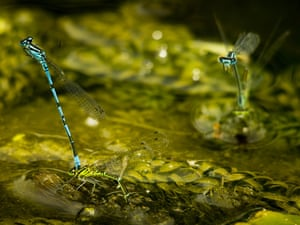 Damsel mating  by James Newman