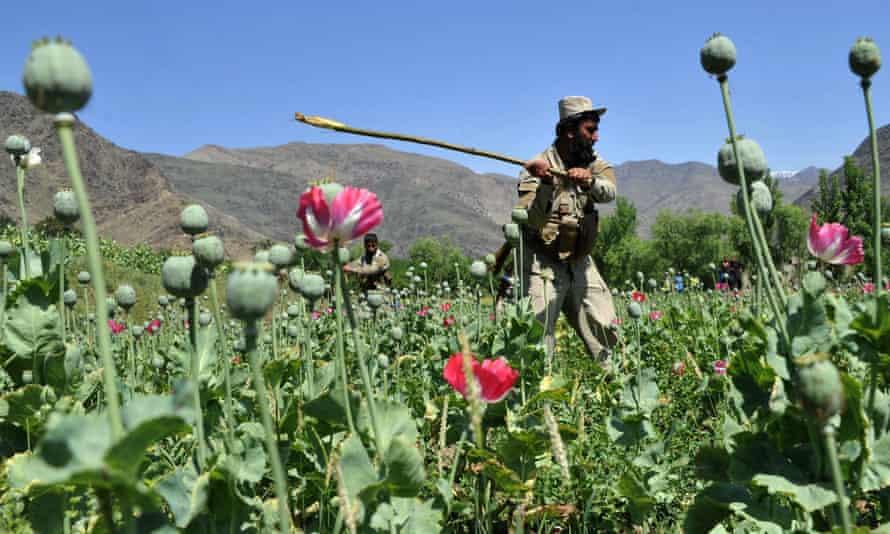 opium afghan poppy