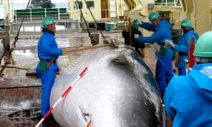 Japanese whalers with a captured minke whale in 2009.