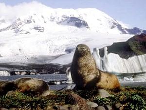 Heard Island elephant seal