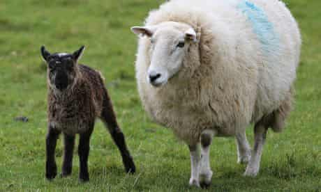 Geep with sheep mother