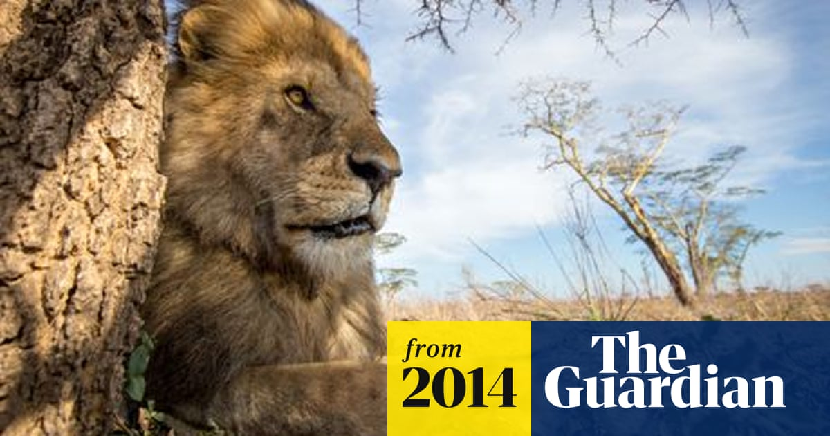 Lion killing in Tanzania reduced by installation of 'living