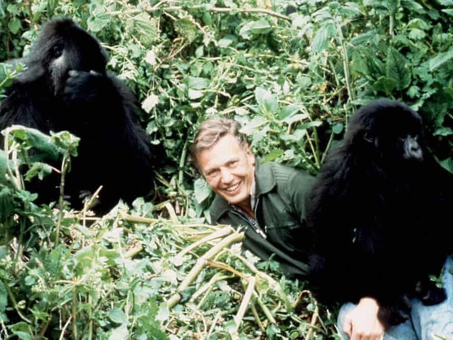 Sir David Attenborough with mountain gorillas in Rwanda from his landmark BBC series Life on Earth.