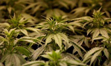 Albania cannabis