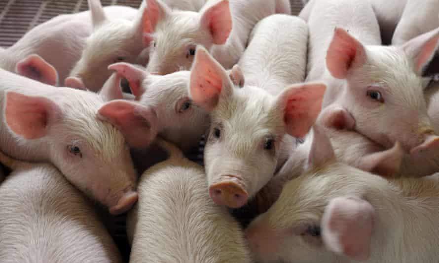 piglets pig china
