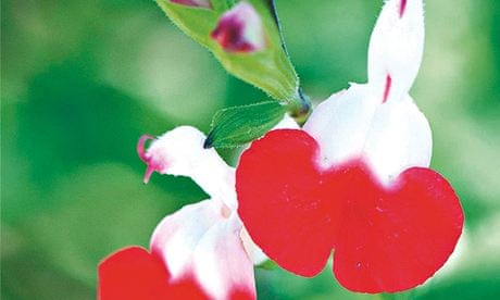 Plant Of The Week Salvia Hot Lips Life And Style The Guardian