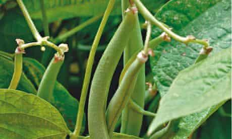 Alys Fowler: dwarf beans